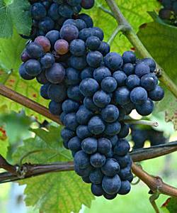 4 дневна диета с грозде