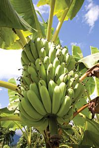 Бананите - едно полезно творение на природата