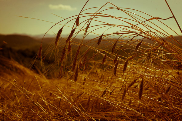 Пшеница или Лимец?