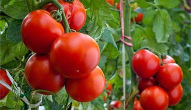 Консумацията на домати помага за дълголетие