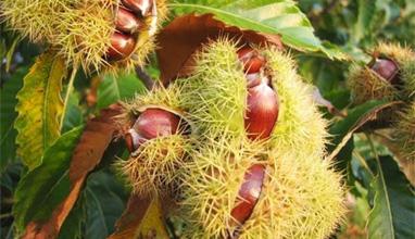 Ядливите кестени - богатството на есента