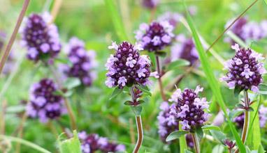 7 полезни билки с антивирусно действие