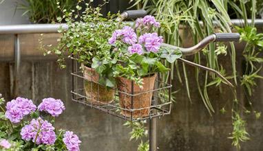 Мушкатото превръща домашната градина в райско кътче