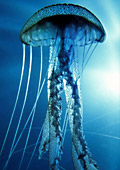Черноморските медузи предизвикват алергия