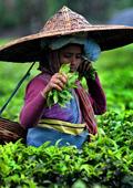 Зеленият чай пази женските полови органи от ХИВ
