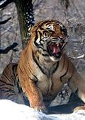 2010 - година на Тигъра според китайския зодиак