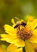 Пчелният прашец - храна, достойна за богове