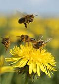 Животът ни е на крилата на една пчела